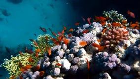 Рыбы на коралле видеоматериал