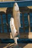 Рыбы на крюке. Красный барабанчик. Стоковое Фото