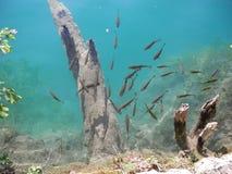 Рыбы на чисто озере Стоковое Фото