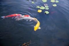 Рыбы, озера, вода, пятирублевка, природа, зоопарк Стоковые Изображения