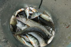 Рыбы озера в клетке Стоковое Изображение RF
