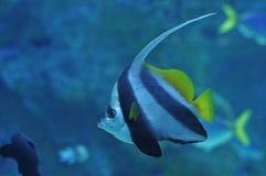Рыбы океана зебры черные белые striped Стоковое Изображение RF