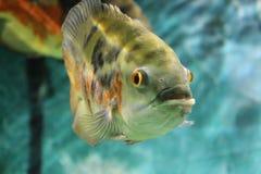 Рыбы Оскара дальше к аквариуму Стоковая Фотография