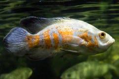 Рыбы Оскара Стоковое Фото