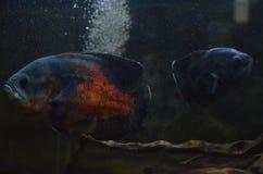 Рыбы Оскара Стоковые Фото