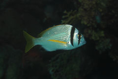 Рыбы пагра Twobar Стоковые Изображения RF