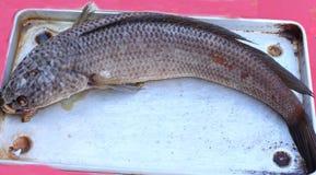 Рыбы пара Стоковое Изображение RF