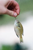 Рыбы персоны уловленные удерживанием Стоковое фото RF
