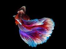 Рыбы полумесяца splendens Betta сиамские воюя стоковые изображения rf