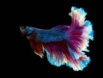 Рыбы полумесяца splendens Betta сиамские воюя стоковые изображения