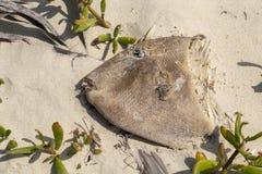 Рыбы попугая смерти на пляже Стоковые Изображения