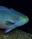Рыбы попугая Стоковое Изображение RF