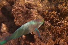 Рыбы попугая Стоковые Изображения RF