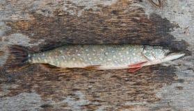 рыбы пресноводные Стоковые Изображения
