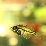 рыбы пресноводные Стоковое Изображение