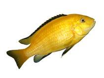 рыбы пресноводные Стоковые Фото