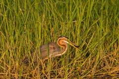 Рыбы птицы цапли Стоковая Фотография