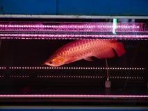 Рыбы дракона Стоковая Фотография