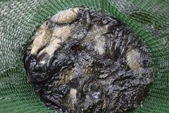 Рыбы реки в зеленой пластичной решетке в пруде Вылов рыбы Карп и карп Рыбы засорителя Стоковое Изображение