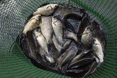 Рыбы реки в зеленой пластичной решетке в пруде Вылов рыбы Карп и карп Рыбы засорителя Стоковая Фотография RF