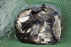 Рыбы реки в зеленой пластичной решетке в пруде Вылов рыбы Карп и карп Рыбы засорителя Стоковые Изображения RF