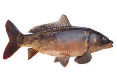 Рыбы реки карпа зеркала Стоковые Изображения