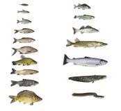 Рыбы рек и озер стоковое фото rf