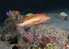 Рыбы рифа на умирая рифе Стоковое Изображение RF