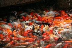 Рыбы роясь в пруде, фарфор Koi Стоковая Фотография
