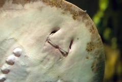 Рыбы Рэй Стоковые Изображения