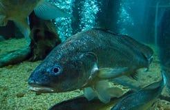 рыбы свежей воды в аквариуме Стоковое Изображение