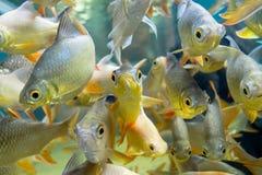 рыбы свежей воды в аквариуме Стоковые Фотографии RF