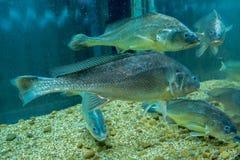 рыбы свежей воды в аквариуме Стоковое фото RF