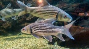 рыбы свежей воды в аквариуме Стоковая Фотография RF