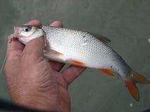 рыбы свежей воды rudd Стоковое Изображение RF