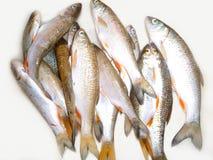 рыбы свежие Стоковые Фото