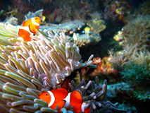 рыбы семьи клоуна тропические Стоковая Фотография