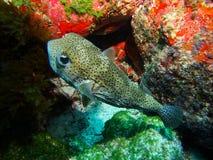 Рыбы скалозуба Стоковое фото RF