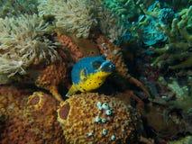 Рыбы скалозуба Blackspotted Стоковое Изображение RF