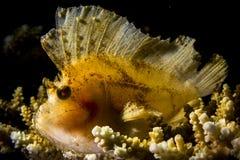 Рыбы скорпиона лист Стоковое Фото