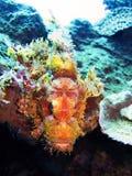 Рыбы скорпиона, море коралла, Бали, Индонезия Стоковая Фотография