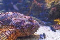 Рыбы скорпиона рыб подводные Стоковое Фото