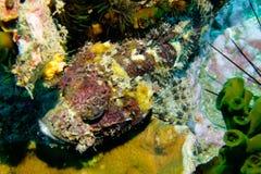 Рыбы скорпиона, утес треугольника, Chumphon, Таиланд Стоковые Изображения RF