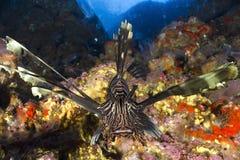 Рыбы скорпиона льва Стоковое Фото