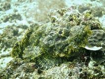 Рыбы скорпиона Стоковая Фотография RF