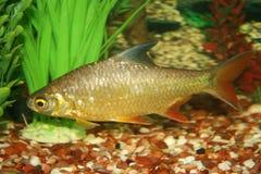 рыбы среднеземноморские Стоковые Изображения RF