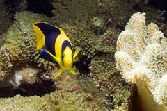 Рыбы среди коралла Стоковое Изображение