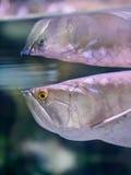 Рыбы с человеком любят эмоция гнева Стоковое Изображение RF