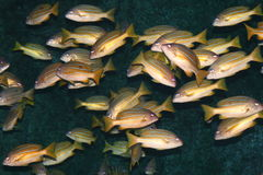 рыбы Таиланд тропический Стоковая Фотография