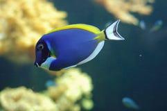 рыбы тропические Стоковая Фотография RF